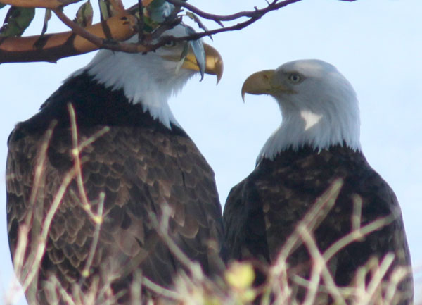 A pair of eagles frequently perches on the Madrona tree in front of the house.